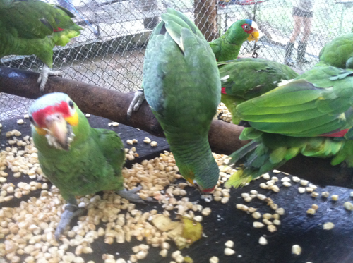 Feeding time for the Parrots