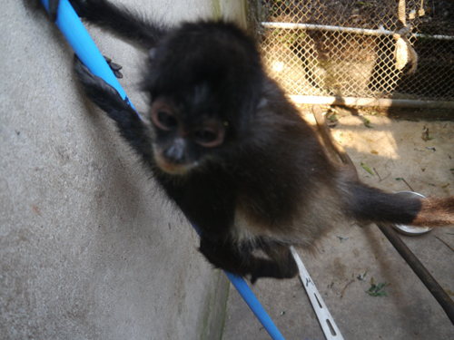Juvenile Spider Monkey climbs the broom