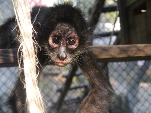 Juvenile Spider Monkey