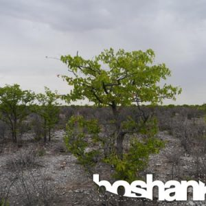 Beautiful Green Acacia Trees in the Namibian Desert, Southern Africa