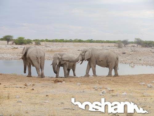 Elephants by a Watering Hole, Etosha National Park, Southern Africa