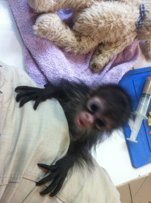 Baby Monkey clutching Tam's leg