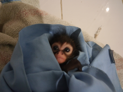 Baby Spider Monkey wrapped up